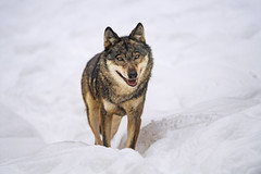 Wolf posing in the snow (Tambako the Jaguar) Tags: wolf canine canid dog posing portrait face standing snow winter cold siky park zoo crémines switzerland nikon d5