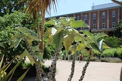 Kalanchoe beharensis (dankeck) Tags: elephantsear crassulaceae succulent leaves kalanchoe feltbush ohiostate osu theohiostateuniversity chadwickarboretum arboretum columbus centralohio howletthall howlett faes cfaes