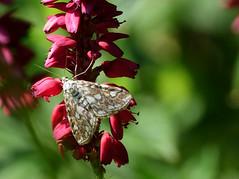 Brown China - mark moth (hedgehoggarden1) Tags: brownchinamark moth dayflyingmoth lepidoptera insect nature creature sonycybershot norfolk eastanglia uk sony