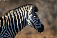 Untitled (leendert3) Tags: leonmolenaar southafrica krugernationalpark naturereserve naturalhabitat nature wildlife wilderness wildanimal mammal burchellszebra ngc npc