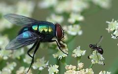 DSC01418 (Argstatter) Tags: bluebottle schmeisfliege fly natur yarrow bokeh makro tier schafgarbe