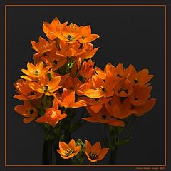 Orange bouquet (cienne45) Tags: ornithogalumdubium carlonatale cienne45 natale genoa italy flowers