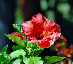 DSC_0014e ~ Hibiscus (BDC Photography) Tags: pipecreek texas usa flower hibiscus nikon nikond200 bwfpro72mmuvhaze1xfilter nikonafnikkor180mmf28difedlens abigfave