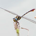Two-striped forceptail  (Aphylla williamsoni) - yesterday