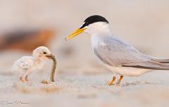 Least Tern and chick (NorthShoreTina) Tags: tern leasttern ternchick