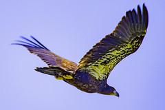 Eagle (NickyBobby1) Tags: skagitwildlifearea washington nature birdsofwashington westernwashington