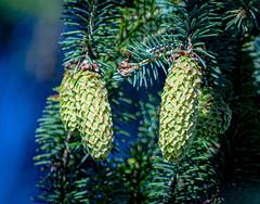 Cones (NickyBobby1) Tags: skagitwildlifearea washington westernwashington nature