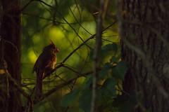 Female Northern Cardinal (brandon_gerringer) Tags: cardinal femalecardinal cardinaliscardinalis bird birdphotography nature naturephotography wildlife wildlifephotography green