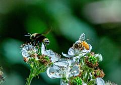 Bees (NickyBobby1) Tags: skagitwildlifearea washington westernwashington nature