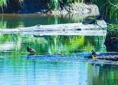Ducks (NickyBobby1) Tags: skagitwildlifearea washington nature birdsofwashington westernwashington