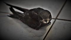 Martinet noir (Apus apus) (Bushcraft.Eure) Tags: martinet noir apus martinetnoir apusapus apodidés common swift commonswift bird oiseau animal nature naturelovers birdslovers wildlife wildlifephoto wildlifephotography normandie normandy eure oiseaux birds birdy ornitho ornithology ornithologie animals france wild sony valleedeleure oss sonya6000 sonye epz18105mmf4goss 18105mm familier sel18105g ilce6000