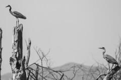 Heron (NickyBobby1) Tags: skagitwildlifearea washington nature birdsofwashington westernwashington heron greatblueheron