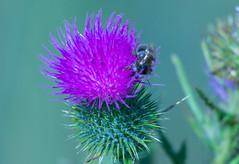 Flower (NickyBobby1) Tags: skagitwildlifearea washington westernwashington nature