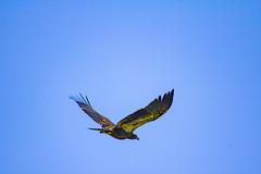 Eagle (NickyBobby1) Tags: skagitwildlifearea washington nature birdsofwashington westernwashington eagle baldeagle