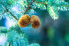 Pine Cones (NickyBobby1) Tags: skagitwildlifearea washington westernwashington nature