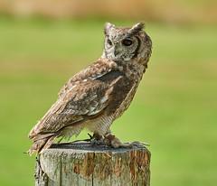 Abyssinian Eagle Owl (Mister Electron) Tags: nationalbirdsofpreycentre duncombepark northyorkshire birdsofprey ornithology birds owls abyssinianeagleowl