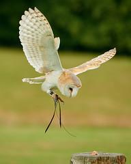 Total concentration (Mister Electron) Tags: nationalbirdsofpreycentre duncombepark northyorkshire birdsofprey ornithology birds owls inflight flying concentration barnowl tytoalba