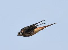 American Kestrel 7-6-19 (Carol Riddell) Tags: bird falcon kestrel americankestrel falcosparverius masoncountybirds washingtonbirds usa