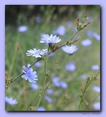 Wild Chicory (Steve InMichigan) Tags: canoneosm50 wildchicory wildflowers michiganwildflowers canonfd50mmf18lens fotasyfdfleosmlensadapter bokeh