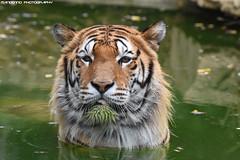 Siberian tiger - Zoo Amneville (Mandenno photography) Tags: animal animals dierenpark dierentuin dieren france frankrijk zoo zooamneville amneville bigcat big cat cats tiger tigers tijgers kumal ngc nature natgeo natgeographic