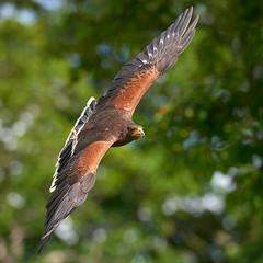 Harris Hawk in flight (Mister Electron) Tags: parabuteounicinctus harrishawk hawk birdsofprey nationalbirdsofpreycentre helmsley duncombepark ornithology flying inflight birds