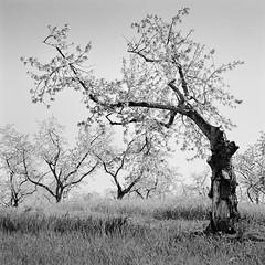 Dance of the Cherry Trees (JasonRobertJones) Tags: leelanau peninsula michigan cherry tree kodak tmax hasselblad black white bw piezography film