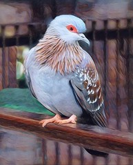 Speckled Pigeon (scilit) Tags: pigeon speckled speckledpigeon bird beak feathers wings animal avian nature photosandcalendar thebestofmimamorsgroups greatphotographers wildlife blue grey pattern perch wood