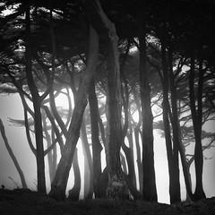 Sutro Trees (nlwirth) Tags: nlwirth yup trees montereycypress sutro sanfrancisco infrared ir blackandwhite branches limbs trunks light fog