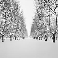 Cherry Rows in Snow (JasonRobertJones) Tags: cherry trees leelanau peninsula michigan kodak tmax film hasselblad piezography black white bw