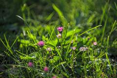 Grass with Flowers (fs999) Tags: 100iso fs999 fschneider aficionados zinzins pentaxist pentaxian pentax k1 pentaxk1 fullframe 24x36 justpentax flickrlovers ashotadayorso topqualityimage topqualityimageonly artcafe pentaxart corel paintshop paintshoppro 2019ultimate paintshoppro2019ultimate macrolife macro makro masterphotos fleur flower blume bloem canonfdnew85mmf12l canonfd8512 canonfd newfd fdnew fd85 fd8512 85mm 85mm12 f12 scoptics adapter fdpk