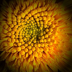 Fibonacci (blasjaz) Tags: blasjaz blüte blume botanik fibonacci fibonaccisequenz helianthuscult patternsinnature