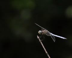 Libellula. Dragonfly (giuselogra) Tags: libellula insetti insects macro macroworld nature natura naturepics canonphotos canon200d canonphotography piedmont piemonte italy italia