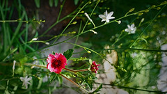 Flower (stega60) Tags: blume flower rot red blüte pflanzen plants garten garden natur nature hdr stega60
