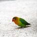 Parakeet - China
