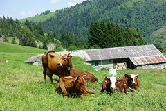 Cows @ Hike from Col des Aravis to Ugine (Route de la Soif) (*_*) Tags: 2019 summer ete july aravis savoie 73 ugine europe france hiking mountain montagne nature randonnee trail sentier walk marche animal cow vache cattle