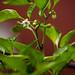 Sweet pepper blossom