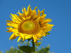 This one is not that modest (joeke pieters) Tags: 1490138 panasonicdmcfz150 zonnebloem sunflower bloem flower