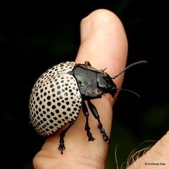 Handsome Beetle, Doryphora or Megistomela multipunctata, Chrysomelidae (In Memoriam: Ecuador Megadiverso) Tags: andreaskay beetle chrysomelidae chrysomelinae coleoptera doryphoramultipunctata ecuador megistomelamultipunctata