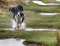 Splash! (vincocamm) Tags: cumbria askhamfell dogs bordercollies splash water droplets fun puddles ball fetch grass green