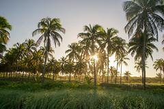 DSC_5911_edited (Proflázaro) Tags: brasil alagoas praiadofrancês marechaldeodoro coqueiral coqueiro palmeira árvore entardecer pôrdosol céu azul verde viagem paisagem paisagemnatural paisagemdobrasil beleza belezabrasileira nikon nikond3100 ecologia
