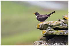 Male Ring Ouzel (www.andystuthridgenatureimages.co.uk) Tags: ouzel ring male perch wall summer migrant thrush peakdistrict national park valley moor moorland upland