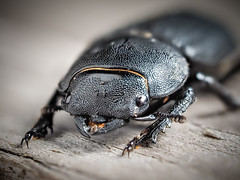 Lesser Stag Beetle - Dorcus parallelopipedus (mickmassie) Tags: chiswick coleoptera insecta lucanidae