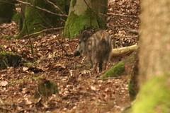Belegbild: Wildschwein (naturgucker.de) Tags: ngidn17450191 susscrofa wildschwein