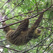 Hoffmann's two-toed sloth_Choloepus hoffmanni_Ascanio_Colombia_199A6332