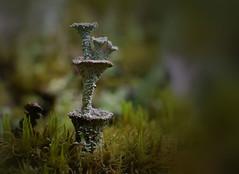 Fairy Fountain (jmunt) Tags: lichen cladonia pixiecups