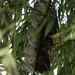 Tropical Screech-Owl_Otus choliba_Ascanio_Colombia_199A7612