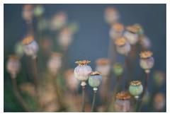 Papaver somniferum (leo.roos) Tags: plant poppi sonye flowwild bokhnatur zuiko oly browning firstversion darosa radioactivelens olympus5512 thoriumoxide leoroos a7rii olympusomgzuikoautos112f55mm radioactivethorium poppy opium klaproos papaver