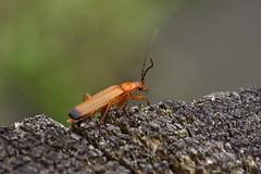 Téléphore fauve (rhagonycha fulva) (pierre.pruvot2) Tags: france pasdecalais maraisdeguînes chemindestêtards macro olympus60mmmacro panasonic lumixg9 arthropode coléoptère insecte