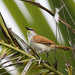 Yellow-chinned Spinetail_Certhiaxis cinnamomeus_Ascanio_Colombia_ 199A6375