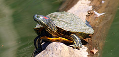 Turtle Smile (Kaptured by Kala) Tags: trachemysscriptaelegans redearedslider waterturtle turtle aquaticturtle whiterocklake dallastexas sliders reptile femaleturtle femaleslider femaleredearedslider reinhartbranch closeup log basking smiling